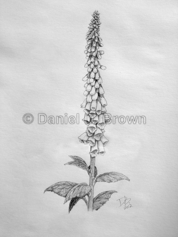 Foxglove, Daniel D. Brown, 2012, Pencil