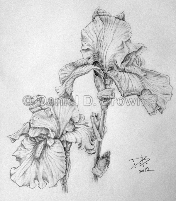 Mother's Day Irises, Daniel D. Brown, 2012, Pencil