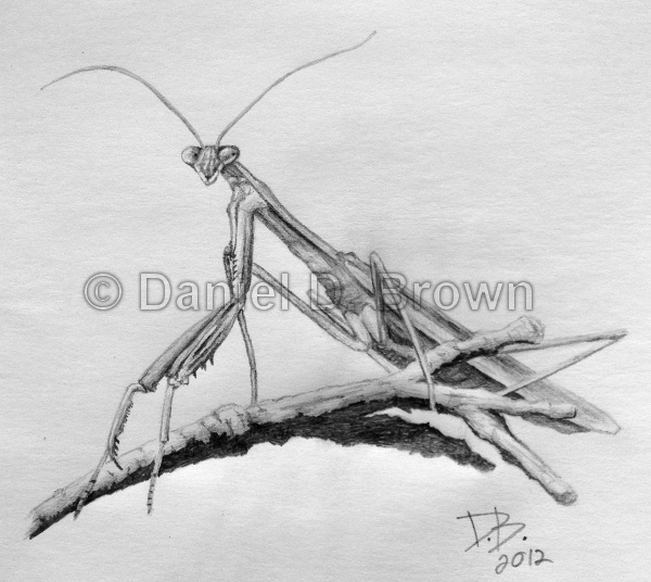 Preying Mantis, Daniel D. Brown, 2012, Pencil