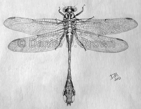 Beaverpond Clubtail dragonfly (Gomphus borealis), Daniel D. Brown, 2012, pencil