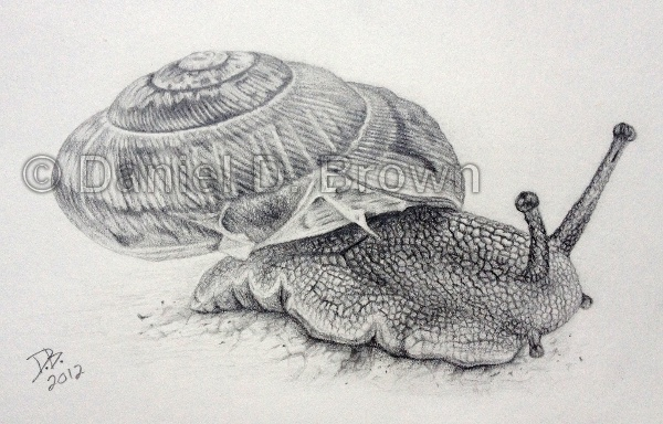 Snail, Daniel D. Brown, 2012, pencil