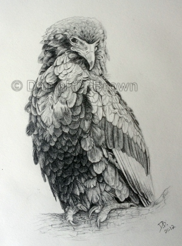 African Bateleur Eagle, Daniel D. Brown, 2012, Pencil