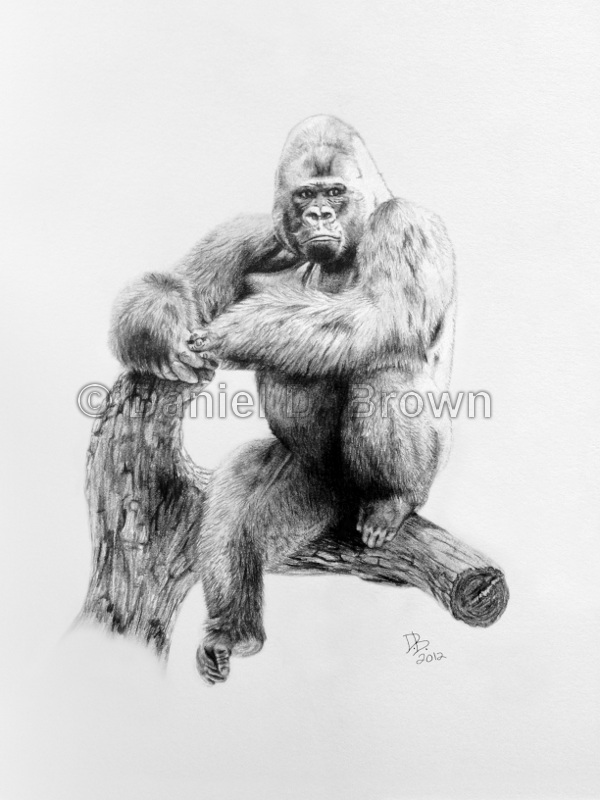 Gorilla, Daniel D. Brown, 2012, Pencil