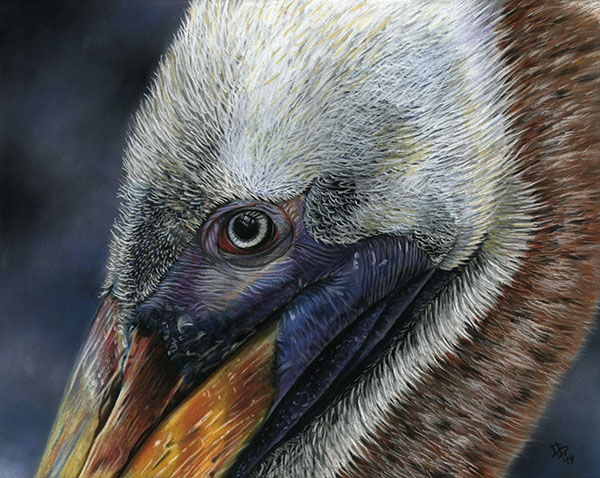 """Dexter the Brown Pelican"""