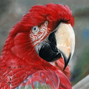 """Killer the Green-Winged Macaw"""