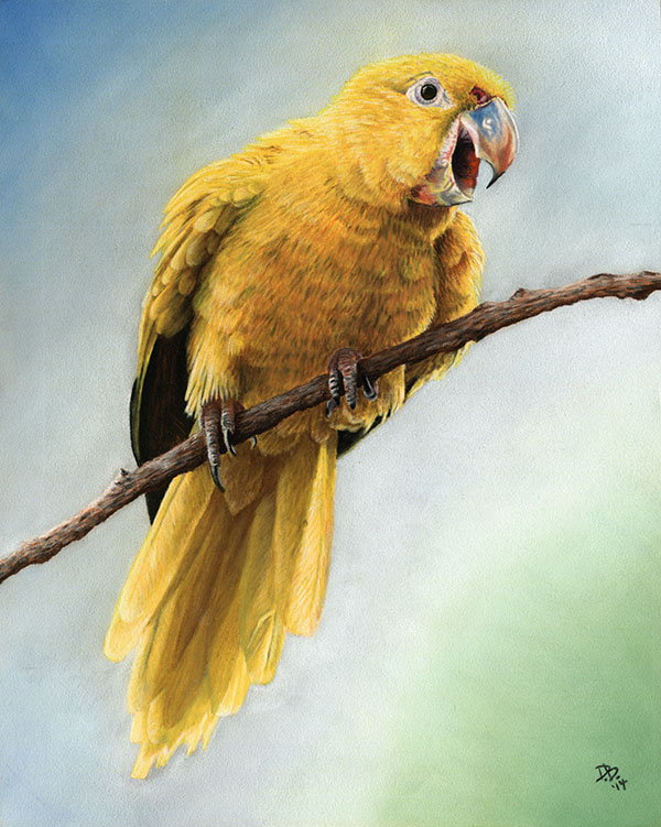 """Woodstock the Golden Conure"""