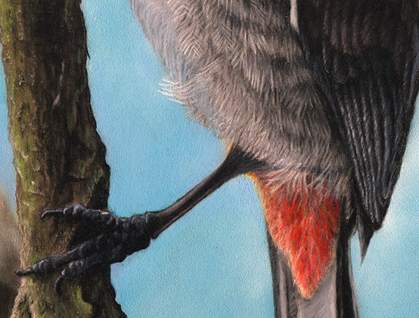 Red-WhiskeredBulbul_DanielDBrown_2015_600_Detail2