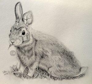 Rabbit, Daniel D. Brown, 2012, pencil