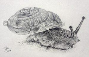 Snail, Daniel D. Brown, 2012, pencil