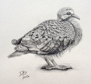 Mourning Dove Chick, Daniel D. Brown, 2012, Pencil