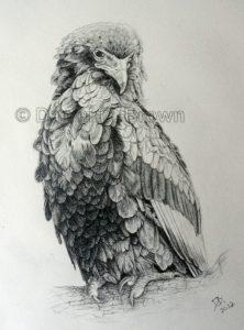 African Bateleur Eagle, Daniel D. Brown, 2012, Pencil
