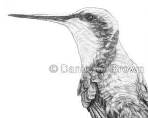 Ruby-Throated Hummingbirds: Mother and Chick, Daniel D. Brown, 2012, Pencil