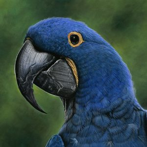 """Benito"" the Hyacinth Macaw"